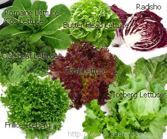 Radishio Butterhead Lettuce Oak Leaf Romaine and Cos Lettuce Iceberg Coral and Frillice Iceberg Lettuce