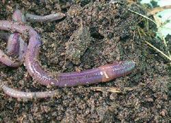 มูลไส้เดือน ตัวช่วยเกษตรอินทรีย์